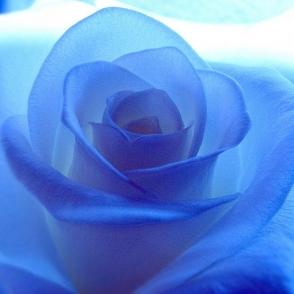 Külmkapimagnet Sinine roos
