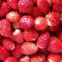 Külmkapimagnet Metsmaasikad